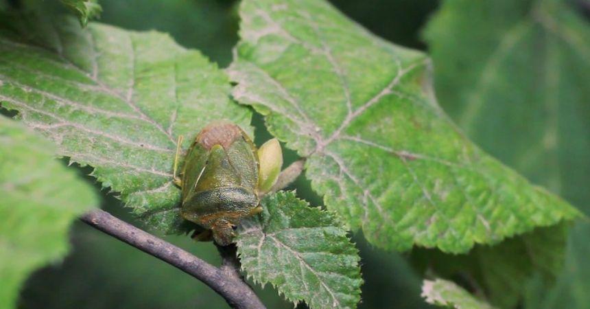 Yeşil Kokarca fındıkta randımanı düşürüyor