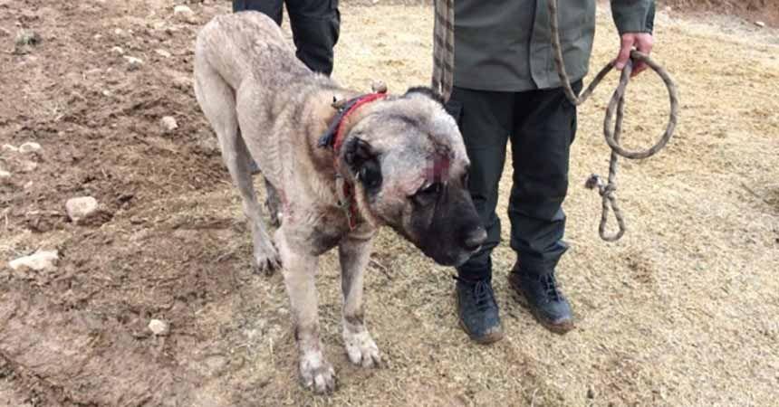 Köpek dövüştüren bahisçilere operasyon