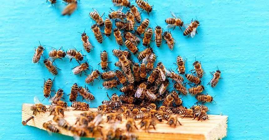 Arı ırkları tehlike altında