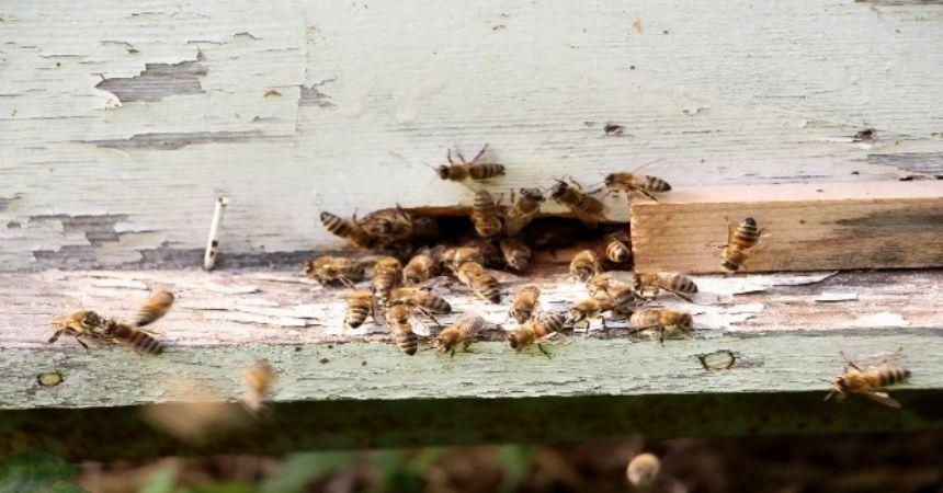 Arı ırkı tehlikede