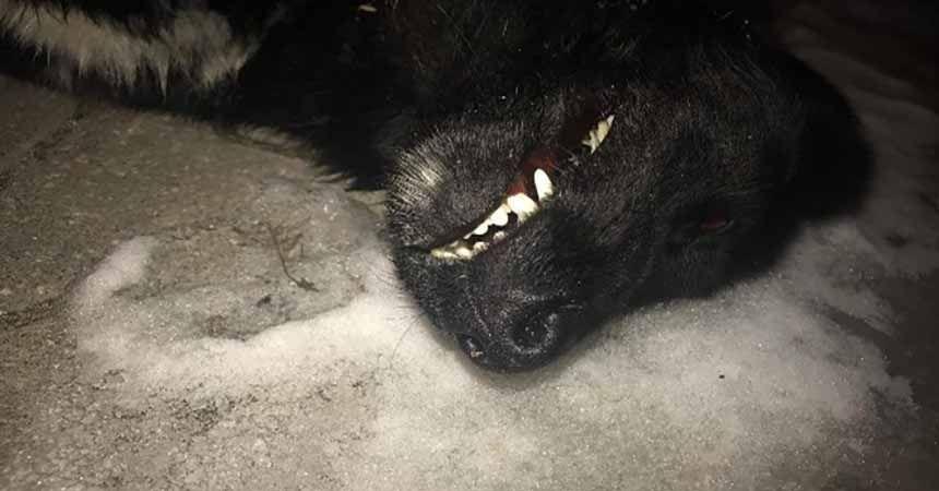 Köpekleri kim zehirledi?