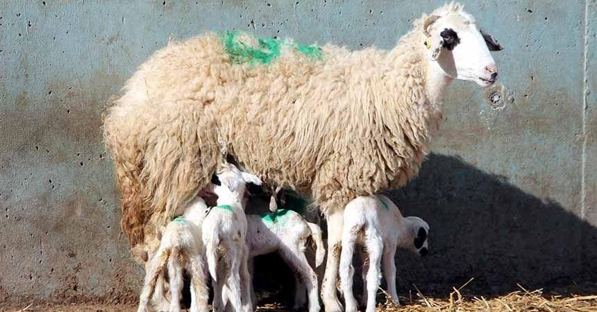 Amasya'da şaşırtan olay! Koyun altız doğurdu