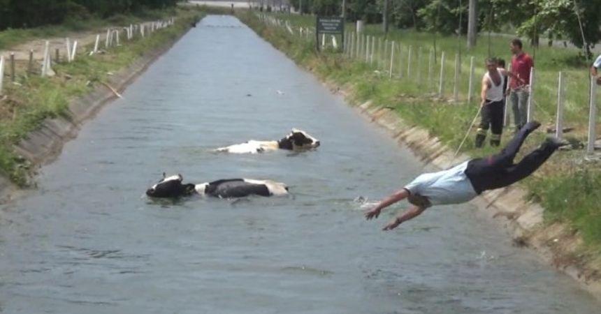 Hayvanlar kanala düştü