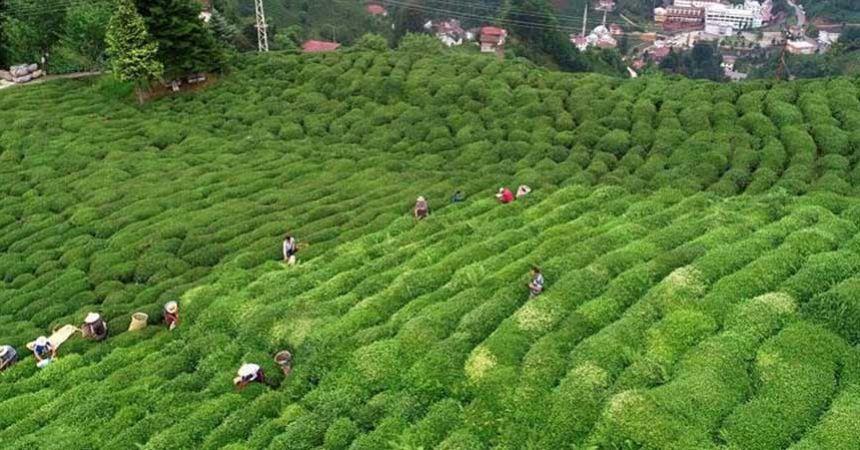 Organik yaş çay taban fiyatı belli oldu