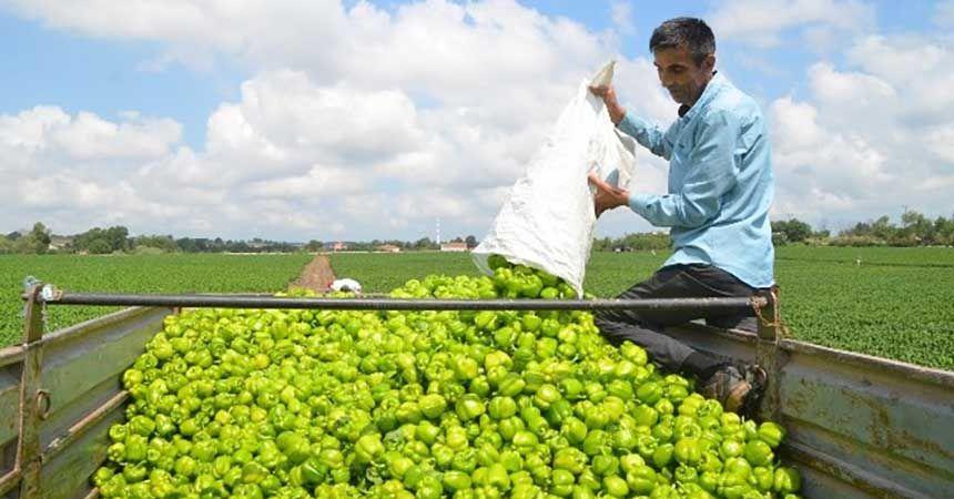 Bafra Ovası'nda biber hasadı başladı