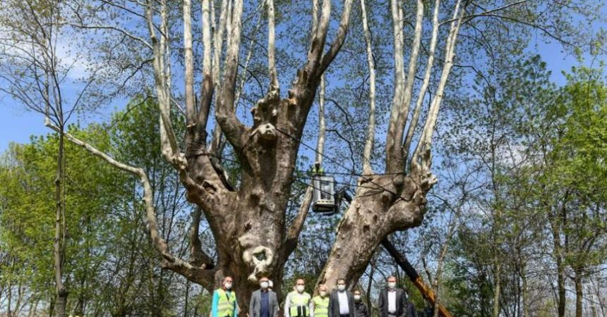 Tarihi ağaca bakım