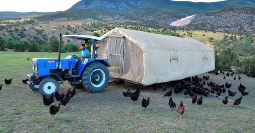 Gerçek 'gezen tavuk' yumurtasına yoğun talep