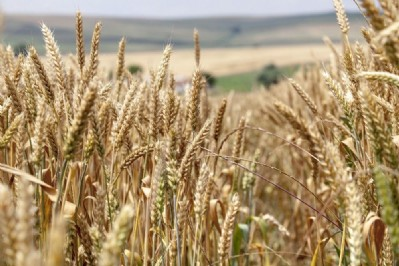 Buğdayda GDO yok