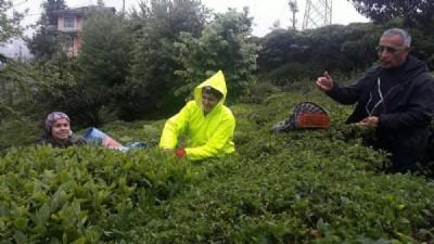 Rize'de yaş çay hasadına başlandı
