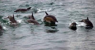 Karadeniz'de yunusların dansı