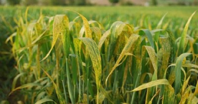 Buğdayda sarı pas hastalığına dikkat