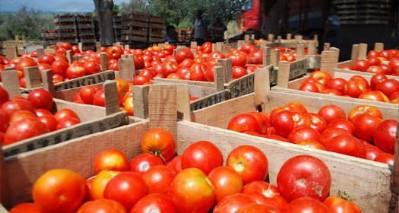 Bafra domatesi fiyatı düşürecek