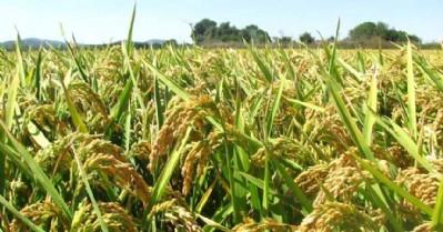 Bafra pirincinin değeri artıyor