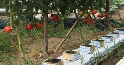 Topraksız tarımla domates üretti