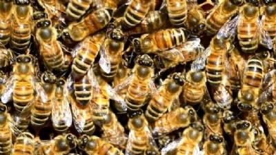 Kimyasal ilaçlar arıları öldürüyor