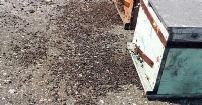 Zirai ilaçlar arıları öldürüyor