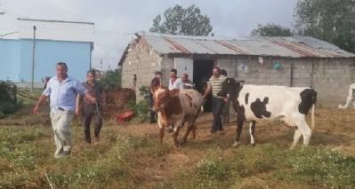 Muhtar iz sürdü, çalınan inekleri buldu