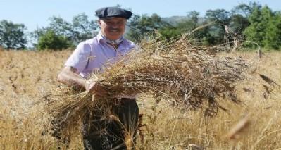 Karakılçık buğdayında ilk hasat