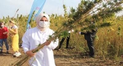 Samsun'da yerli kenevir hasadı