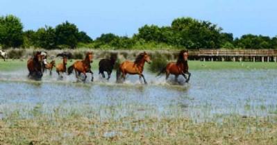 Delta'nın yılkı atları ilgi çekiyor