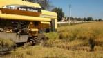 Samsun'da çeltik hasadı verimli geçti