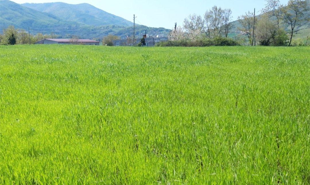 Atakum'da karakılçık buğdayı